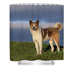 Domestic Dog Canis Familiaris, Taymyr Shower Curtain by Konrad Wothe