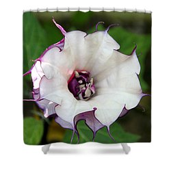 Double Purple Datura Shower Curtain by Diana Haronis