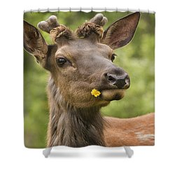 Elk Cervus Canadensis With Dandelion In Shower Curtain by Philippe Widling