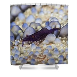Emporer Shrimp On A Large Pin Cushion Shower Curtain by Terry Moore