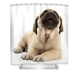 English Mastiff Puppy Shower Curtain by Jane Burton