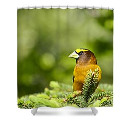 Evening Grosbeak Shower Curtain by Teresa Zieba