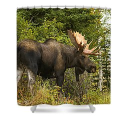 Shower Curtain featuring the photograph Fall Bull Moose by Doug Lloyd