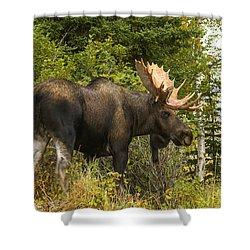 Fall Bull Moose Shower Curtain by Doug Lloyd