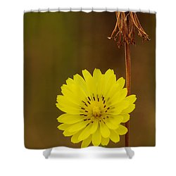 False Dandelion Flower With Wilted Fruit Shower Curtain