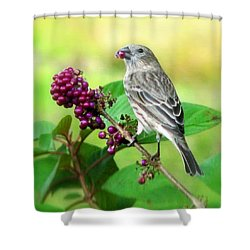 Finch Eating Beautyberry Shower Curtain
