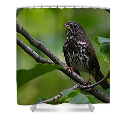 Fox Sparrow Shower Curtain
