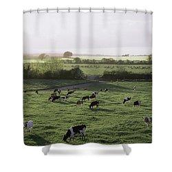 Friesian Bullocks, Ireland Herd Of Shower Curtain by The Irish Image Collection