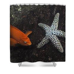 Garibaldi With Starfish Underwater Shower Curtain by Flip Nicklin