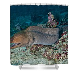 Giant Moray Eel Swimming Shower Curtain by Mathieu Meur
