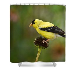 Goldfinch Shower Curtain by Alan Hutchins