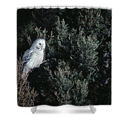 Great Gray Owl Strix Nebulosa In Blonde Shower Curtain by Michael Quinton