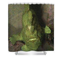Green Frogfish In Sponge, North Shower Curtain by Mathieu Meur
