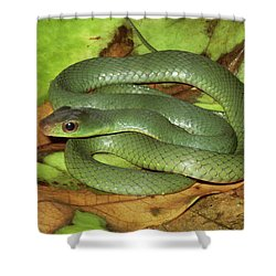Green Racer Drymobius Melanotropis Amid Shower Curtain by Michael & Patricia Fogden