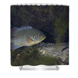 Green Sunfish Swimming Along The Rocky Shower Curtain by Michael Wood