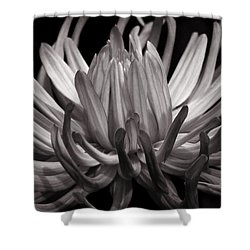 Grey Dahlia Shower Curtain