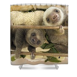 Hoffmanns Two-toed Sloth Orphaned Babies Shower Curtain by Suzi Eszterhas