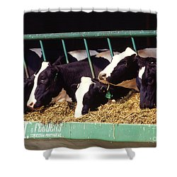 Holstein Dairy Cows Shower Curtain by Photo Researchers