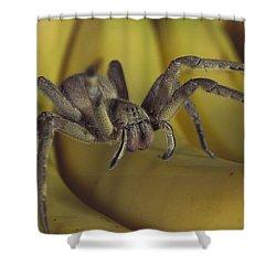 Hunting Spider Cupiennius Salei Walking Shower Curtain by Heidi & Hans-Juergen Koch