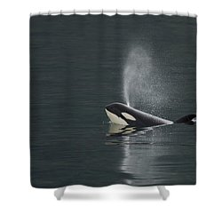 Killer Whale Calf Blows As It Surfaces Shower Curtain by Ralph Lee Hopkins