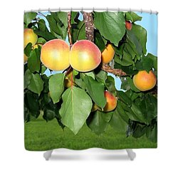 Lake Country Apricots Shower Curtain by Will Borden