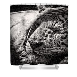 Shower Curtain featuring the photograph Let Sleeping Tiger Lie by Traci Cottingham
