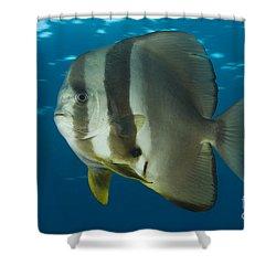 Longfin Spadefish, Papua New Guinea Shower Curtain by Steve Jones