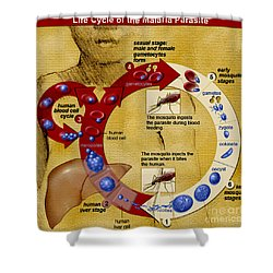 Malaria Parasite Life Cycle Shower Curtain by Science Source