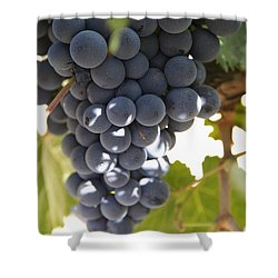 Malbec Grapes On The Vine Shower Curtain by Peter Langer
