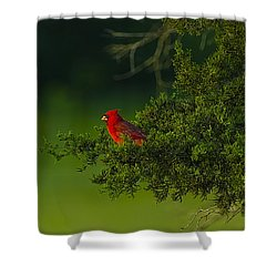 Male Cardinal In Pine Tree Shower Curtain