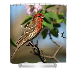 Male Finch Shower Curtain by Alan Hutchins