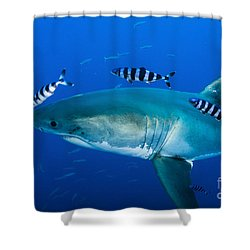 Male Great White Shark And Pilot Fish Shower Curtain by Todd Winner
