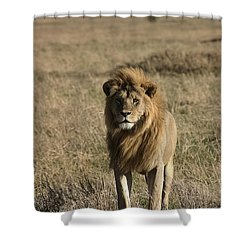 Male Lion's Gaze Shower Curtain by Darcy Michaelchuk