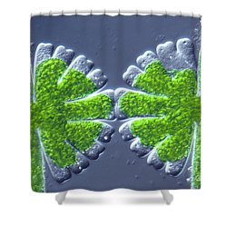 Micrasterias Rotata Shower Curtain by M. I. Walker