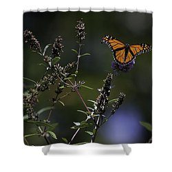 Monarch In Morning Light Shower Curtain by Rob Travis