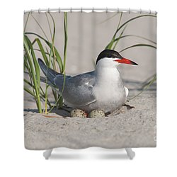 Nesting Common Tern Shower Curtain by Clarence Holmes