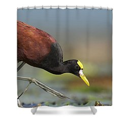 Northern Jacana Foraging Costa Rica Shower Curtain by Tim Fitzharris