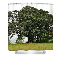 Old Fig Tree - Ficus Carica Shower Curtain by Kaye Menner