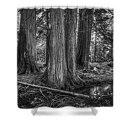 Old Growth Cedar Trees - Montana Shower Curtain by Daniel Hagerman