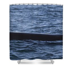Orca Orcinus Orca Surfacing Showing Shower Curtain by Matthias Breiter
