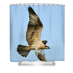 Shower Curtain featuring the photograph Osprey After Flight by Rick Frost