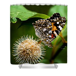 Painted Lady On Button Bush Shower Curtain