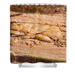 Parasitized Ash Borer Larva Shower Curtain by Science Source