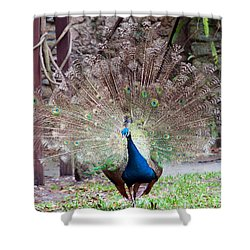 Peacock Display Shower Curtain by Kenneth Albin
