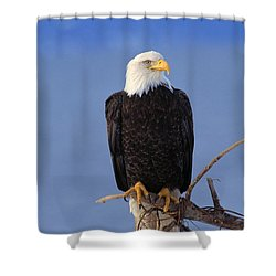 Perched Bald Eagle Shower Curtain by Natural Selection David Ponton