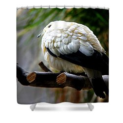 Shower Curtain featuring the photograph Pied Imperial Pigeon by Davandra Cribbie