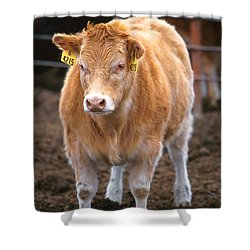 Piedmontese-hereford Crossbred Calf Shower Curtain by Science Source