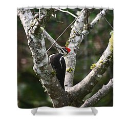 Shower Curtain featuring the photograph Pileated Woodpecker In Cherry Tree by Kym Backland