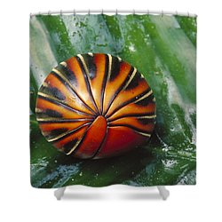 Pill Millipede Glomeris Sp Rolled Shower Curtain by Cyril Ruoso