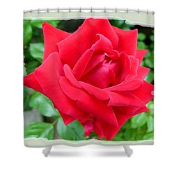 Prince Charles Rose Shower Curtain by Will Borden